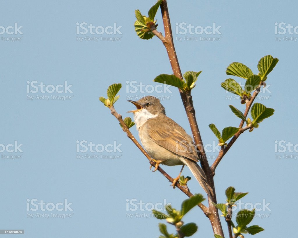 Singing Whitethroat in the arternoon sunshine. stock photo