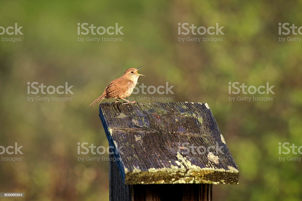 Singing wren on a nesting box. stock photo