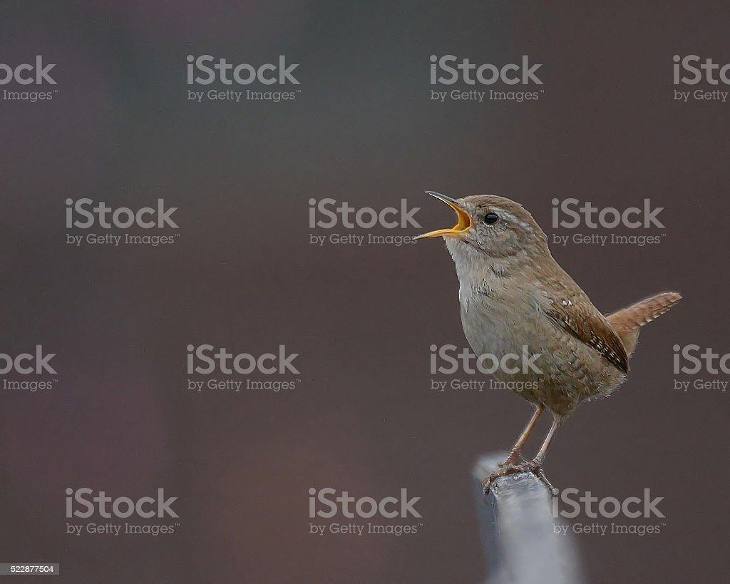Singing Wren stock photo