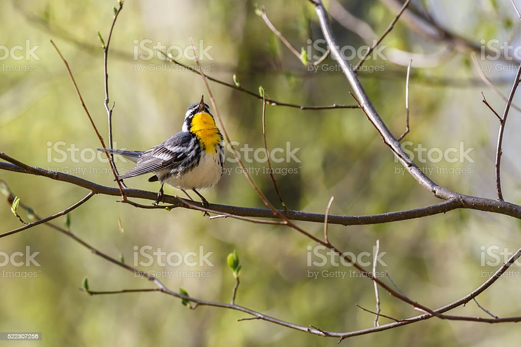 Singing Yellow-throated Warbler (Dendroica dominica) stock photo