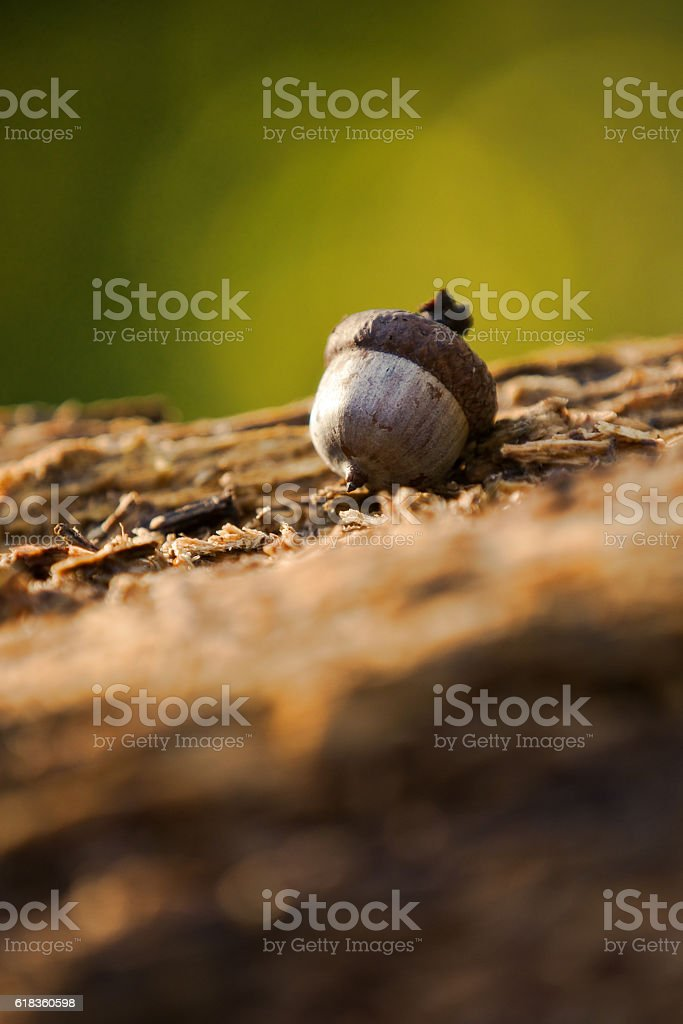Single Acorn stock photo