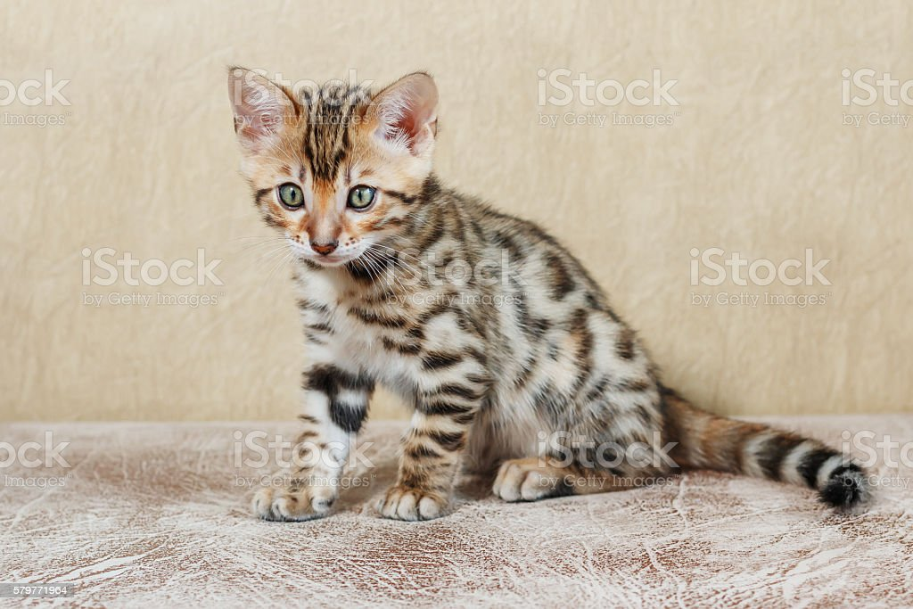 Single adorable brown spotted bengal kitten on neutral background stock photo