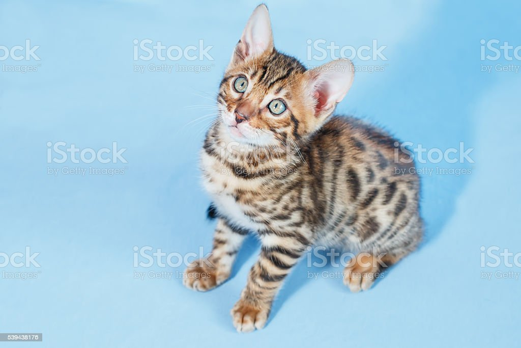 Single adorable brown spotted bengal kitten sitting stock photo