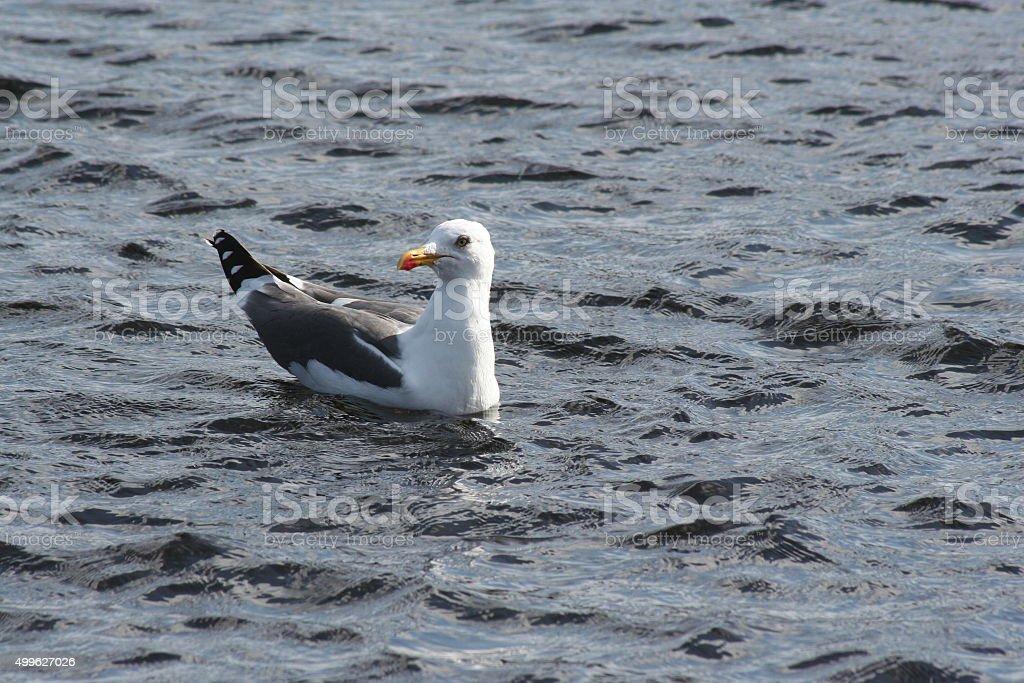 Single adult herring gull swimming in the sea stock photo