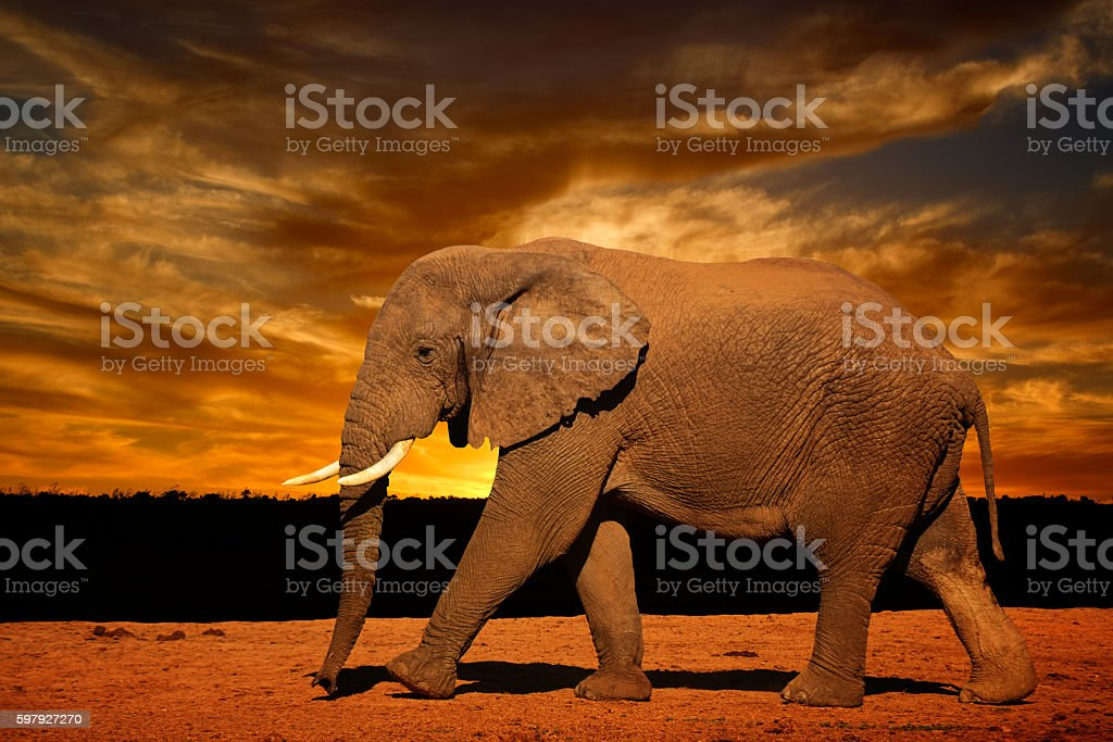 Single African elephant running in the evening stock photo