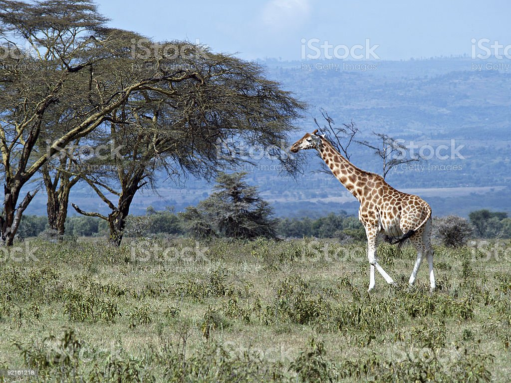 Single african giraffe royalty-free stock photo