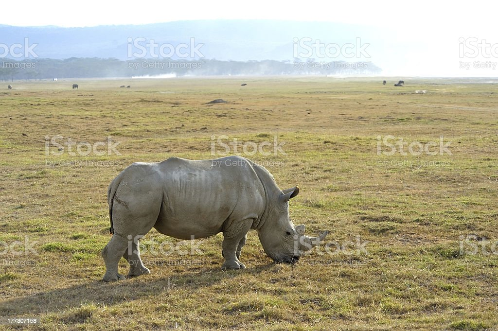 Single African rhinoceros royalty-free stock photo