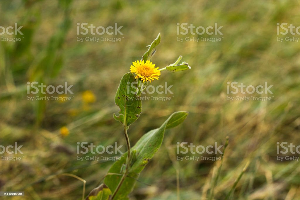 Single and lonely daisy in the forest stock photo