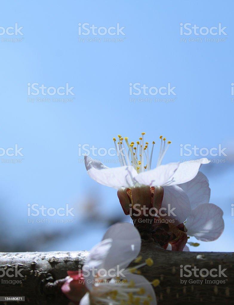 Single apricot flower royalty-free stock photo