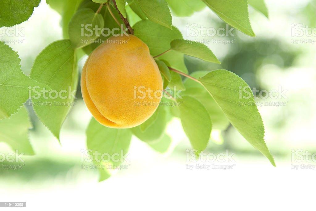 Single Apricot stock photo