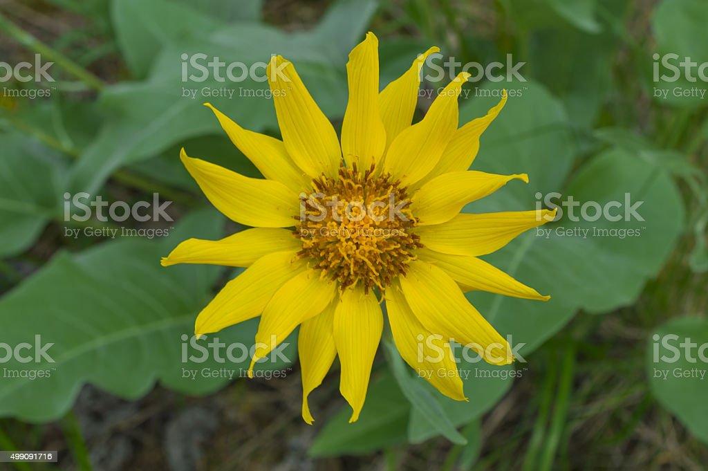 Single Balsamroot Flower in the Okanagan Valley BC Canada stock photo