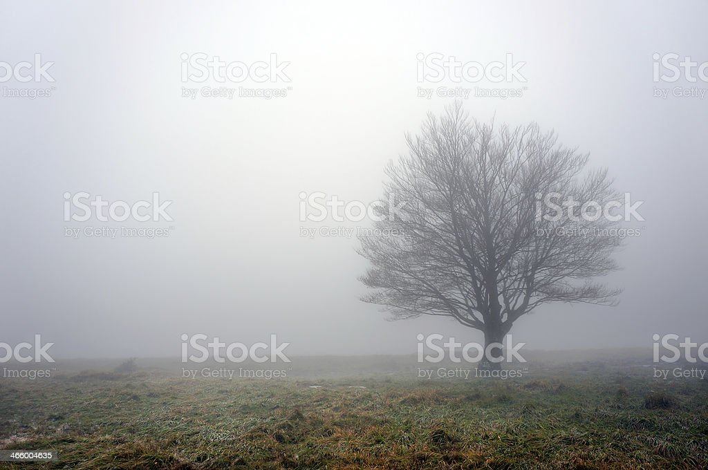 Single bare leafless tree in field surrounded by fog stock photo