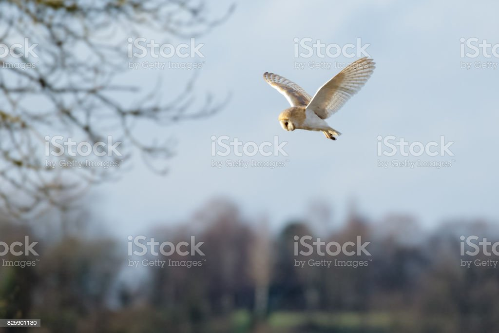 Single Barn Owl (Tyto alba) flying, in flight, hunting hovering over  meadow stock photo