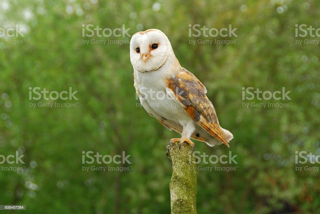 Single barn Owl on top of a tree trunk. stock photo