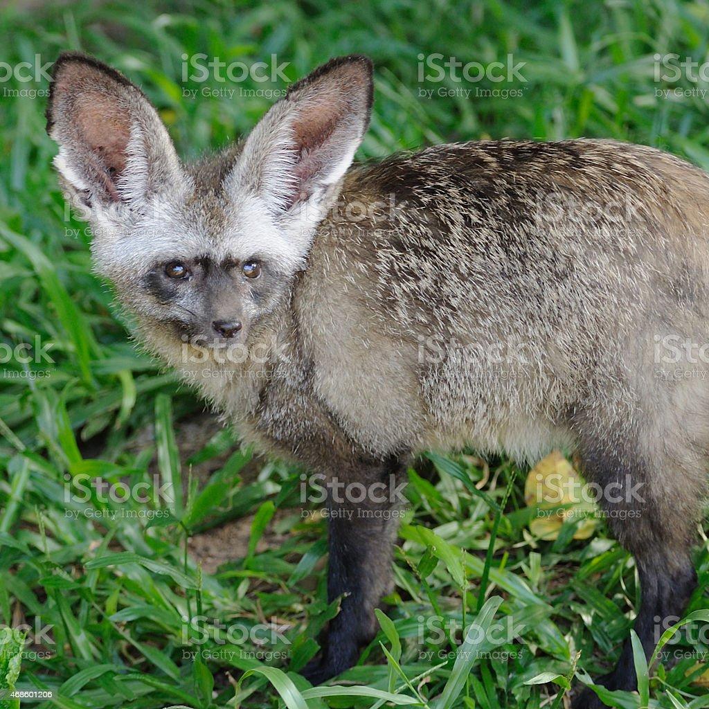 Single bat-eared-fox in public zoo, stock photo