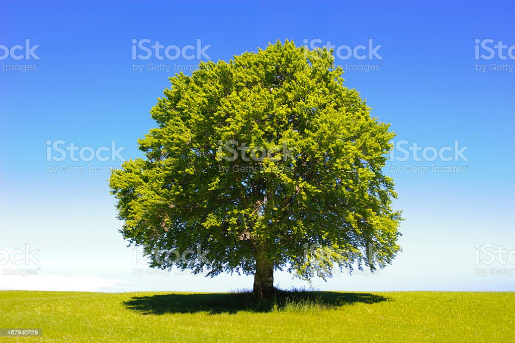 single beech tree at spring stock photo