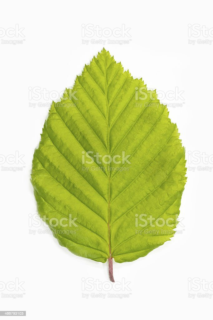 Single beech tree leaf (Fagus) stock photo