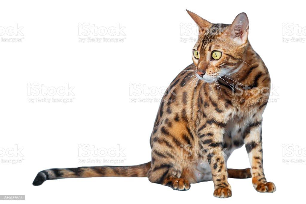 Single bengal cat isolated on white background stock photo