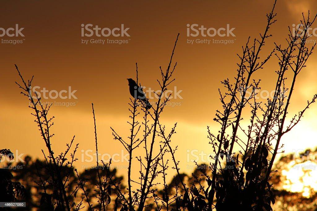 Single bird singing in the dawn stock photo