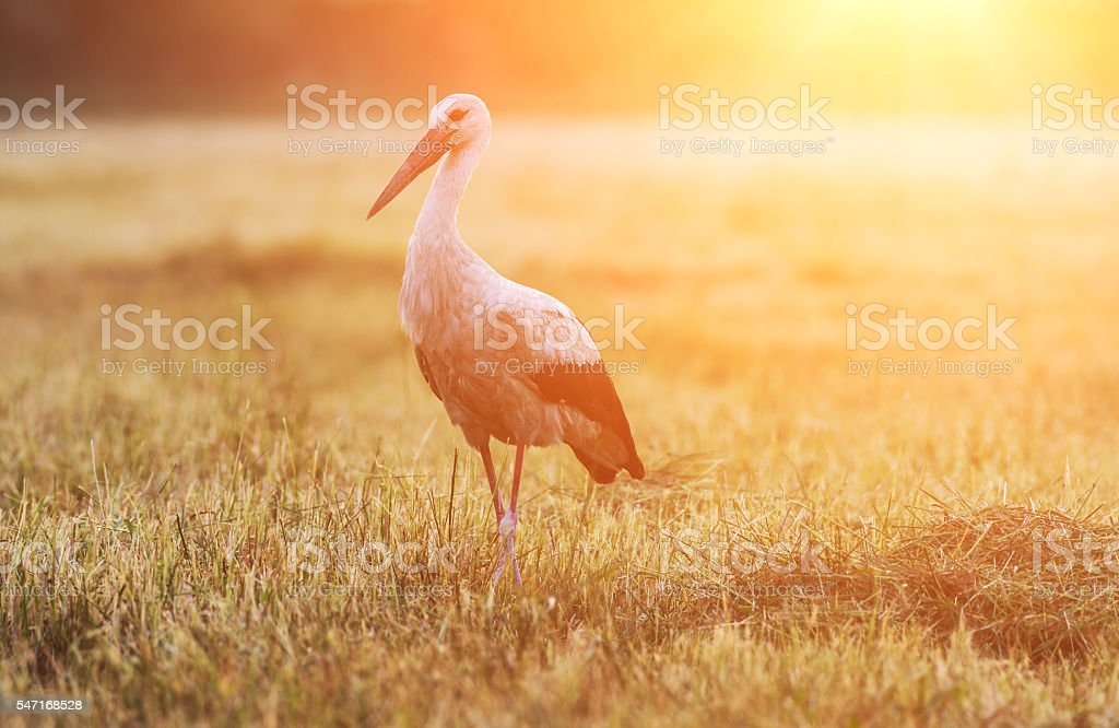Single bird white stork stock photo