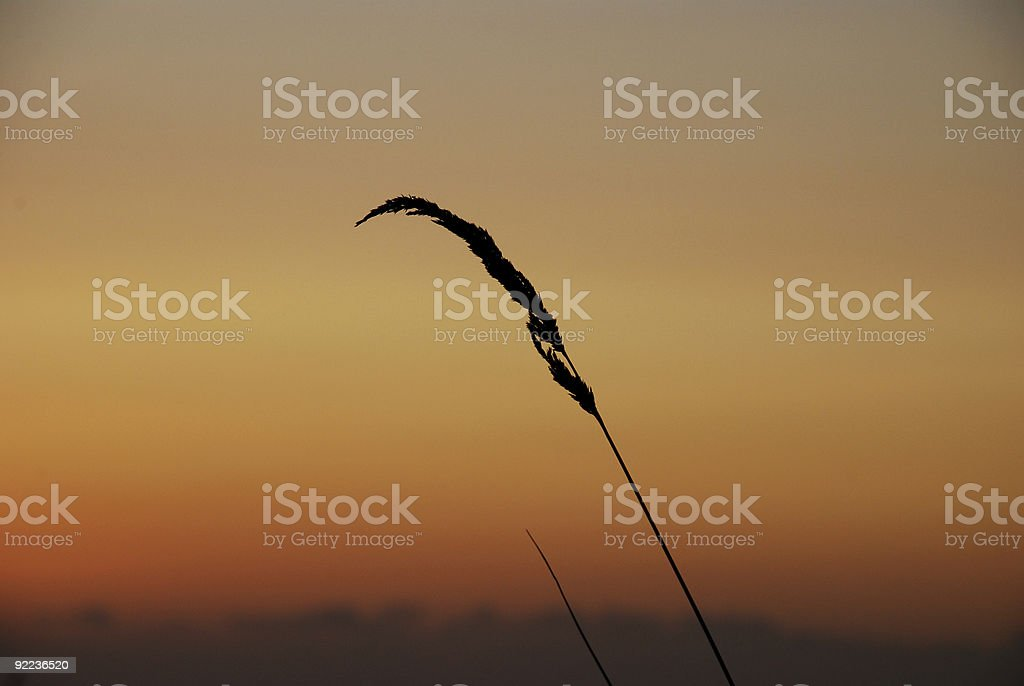 Single blade of grass royalty-free stock photo