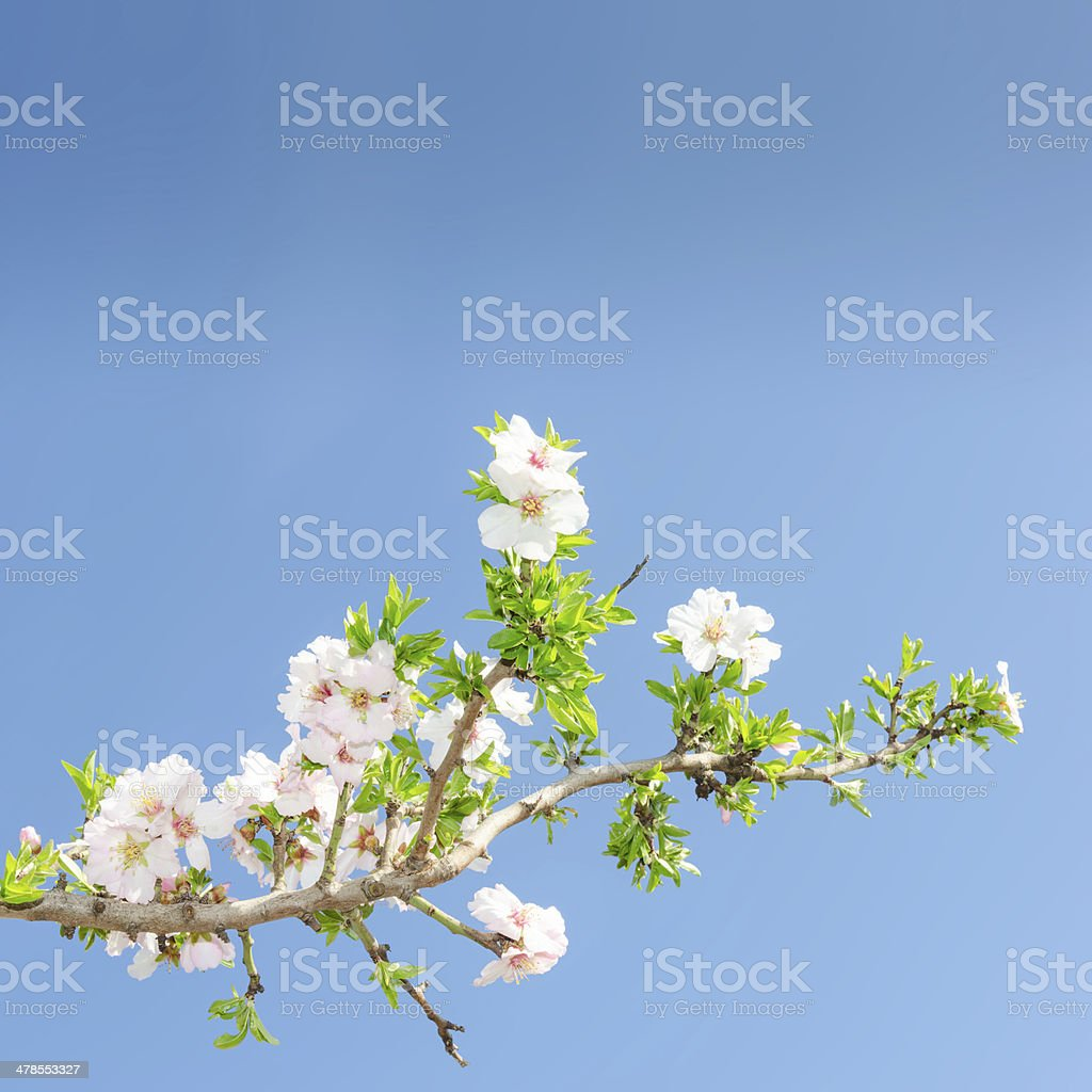 Single blooming branch of apple tree against spring blue sky stock photo