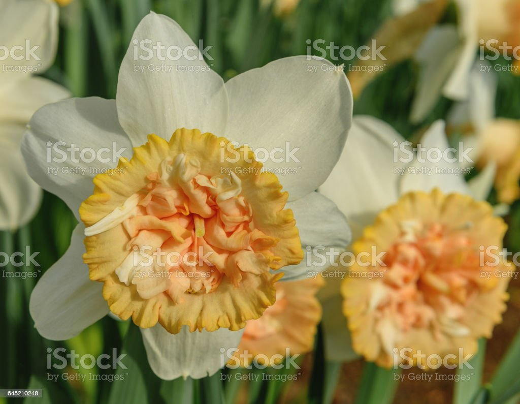 A single blooming white-yellow narcissus in Keukenhof. Close up stock photo
