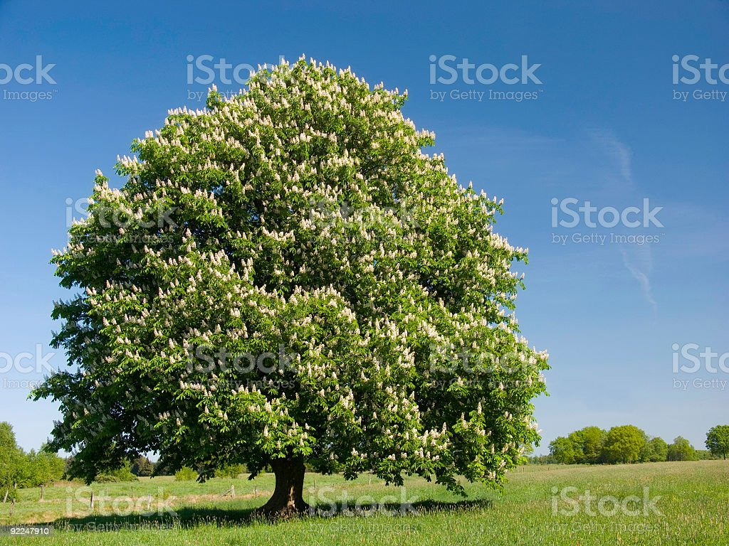 Single Blossoming Chestnut Tree stock photo