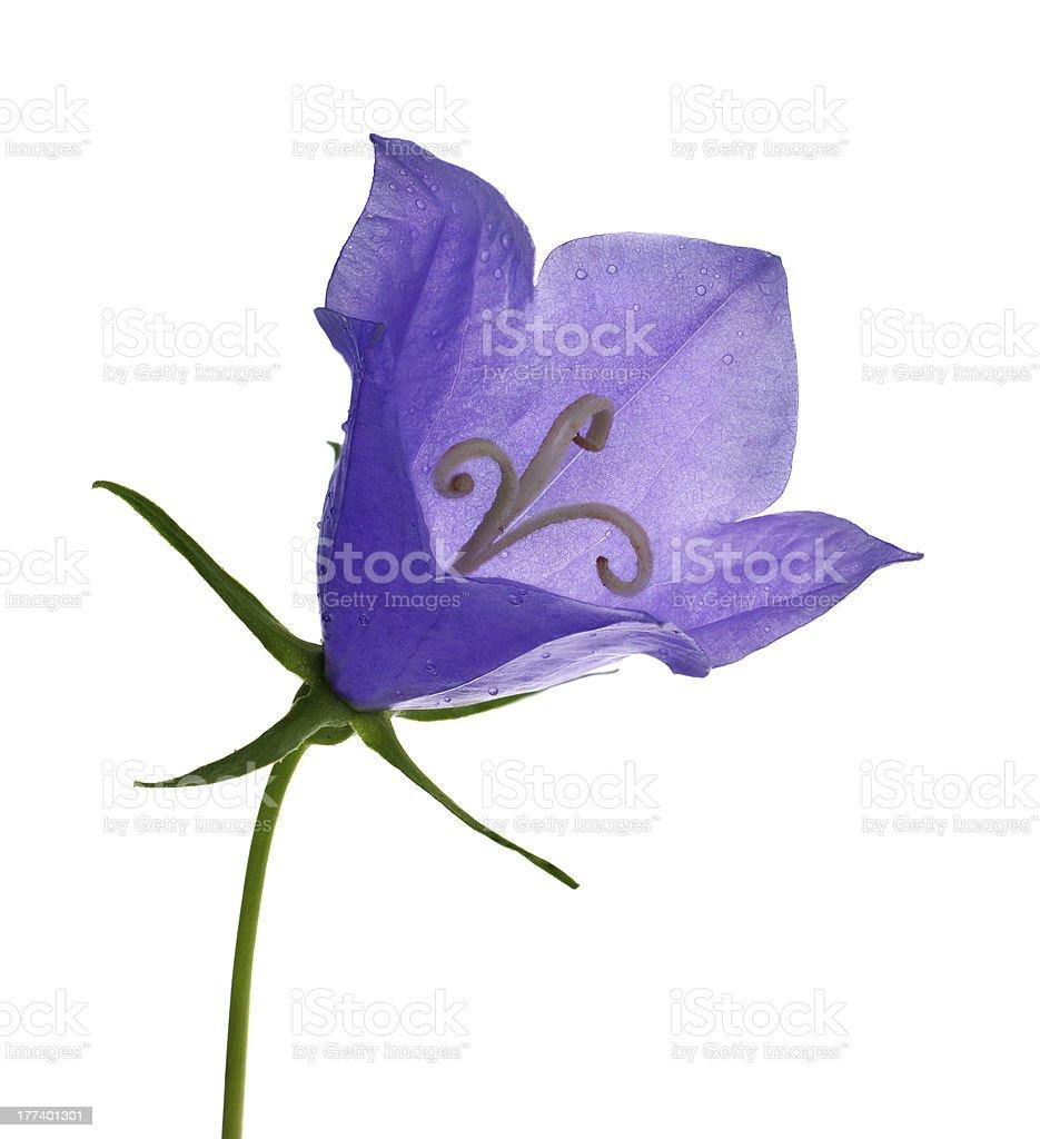 single blue bluebell flower on white royalty-free stock photo