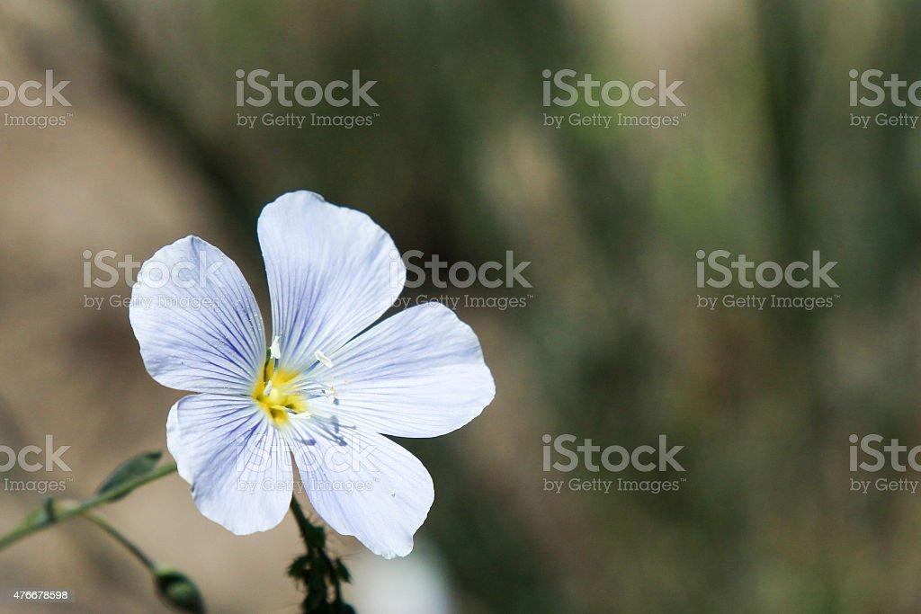Single blue flax flower in Colorado stock photo