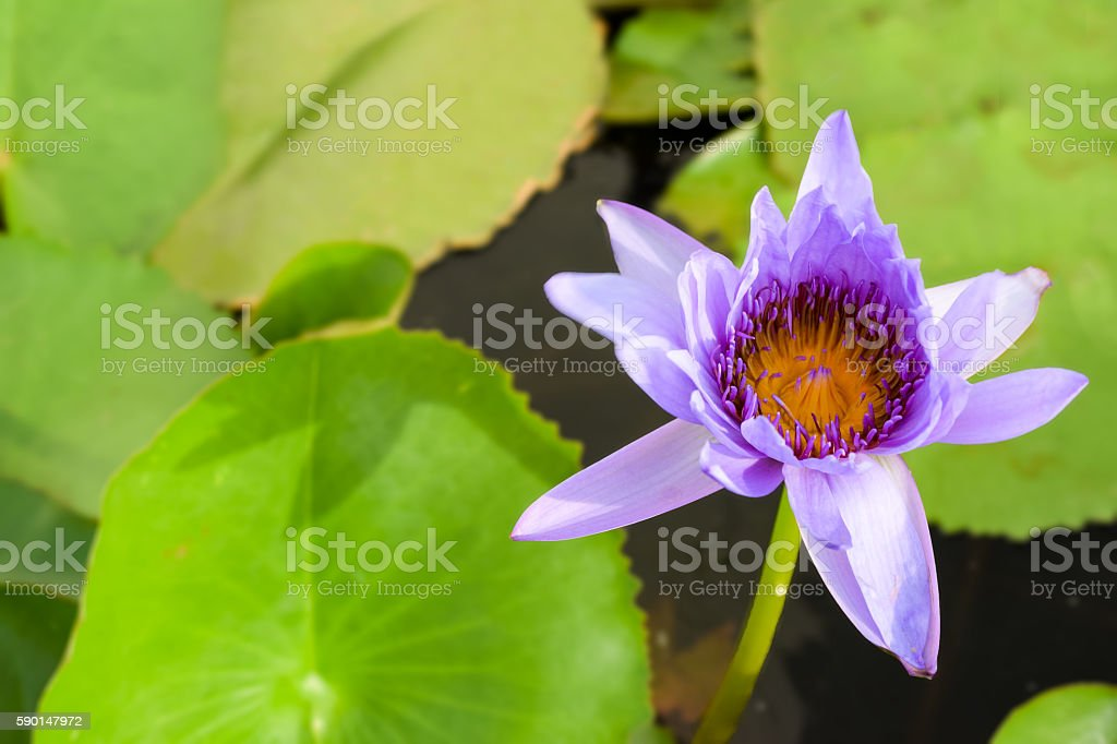 Single blue water lily (nymphaeaceae) with green lily pad background stock photo