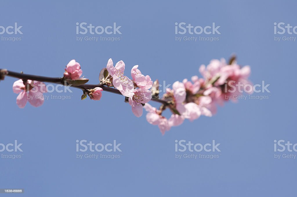 Single branch of pink cherry blossom royalty-free stock photo