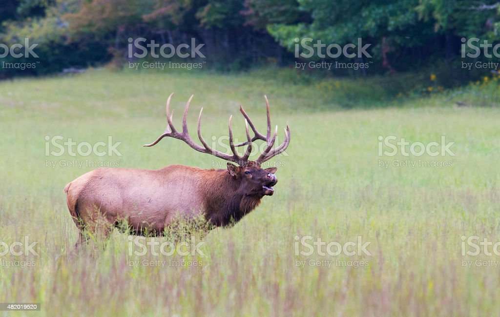 Single Bull Elk calling a bugle sound. stock photo