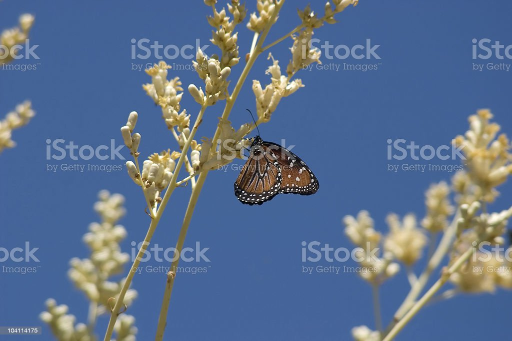Single Butterfly on Boojum royalty-free stock photo