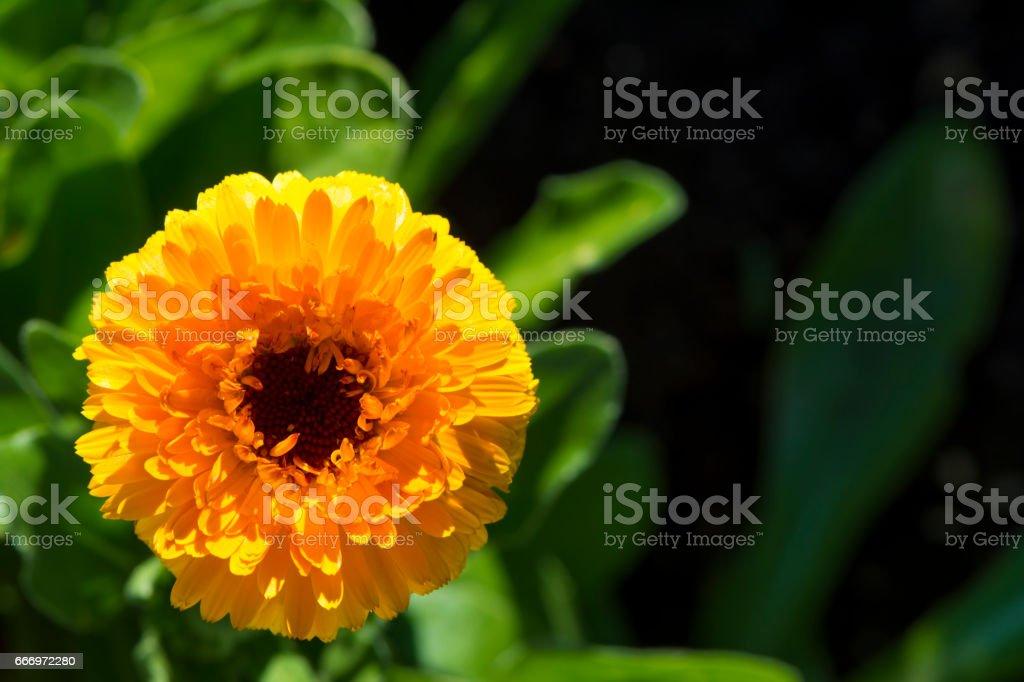 Single Calendula Pacific Beauty Flower Head stock photo