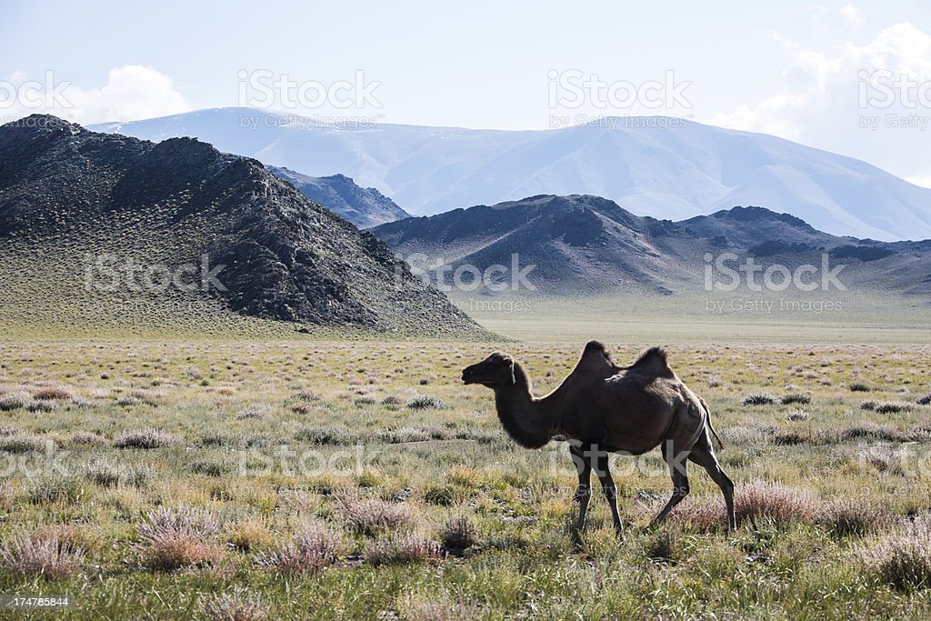 Single camel in the mongolian steppe royalty-free stock photo