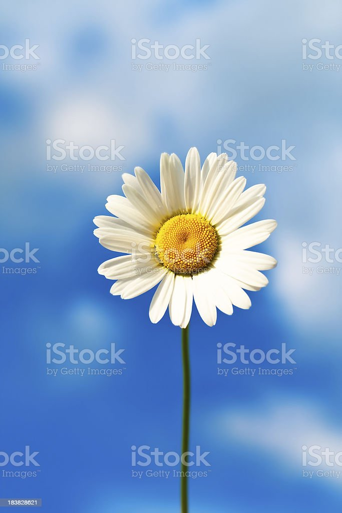 Single camomile against blue sky royalty-free stock photo