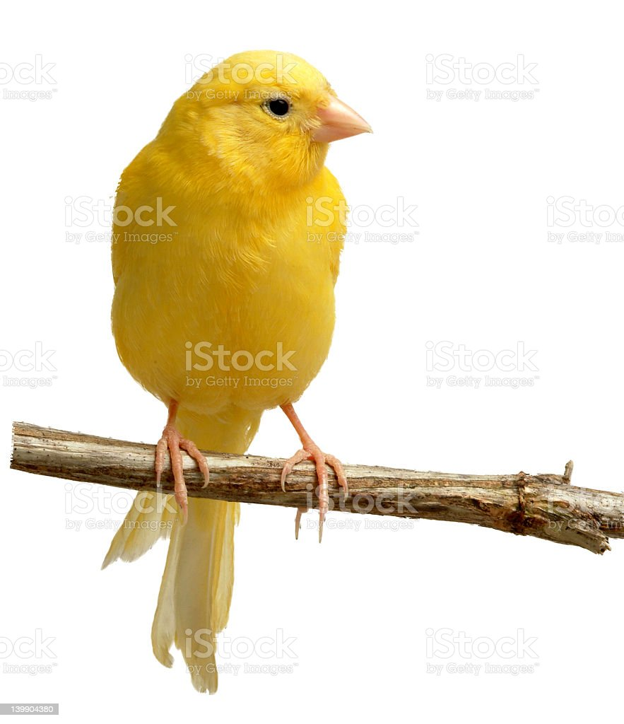 Single canary bird on a wood perch on a white background stock photo