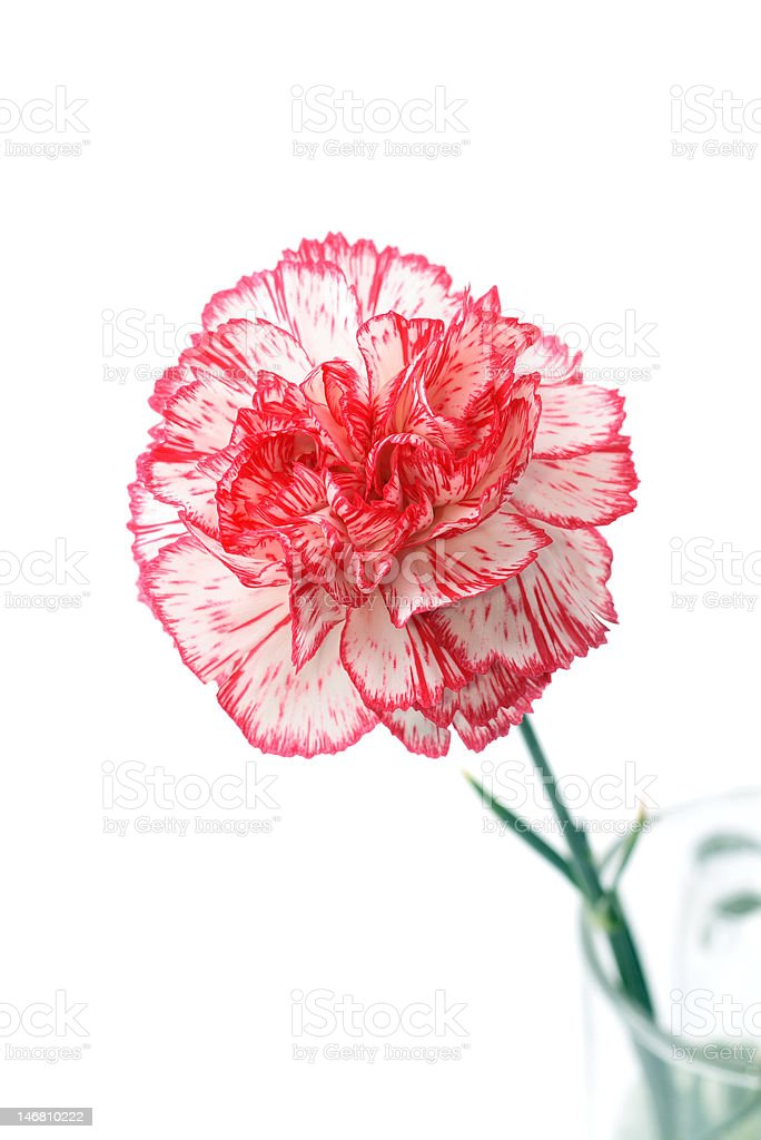 single carnation isolated on white stock photo