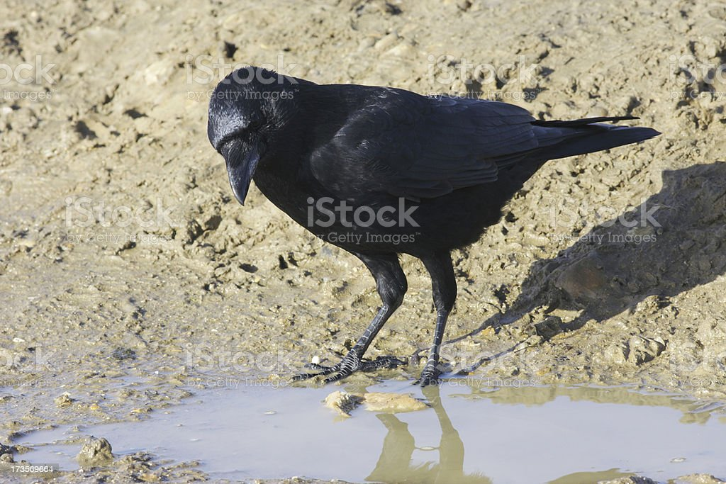Single carrion crow Corvus corone at rain puddle soggy bread stock photo