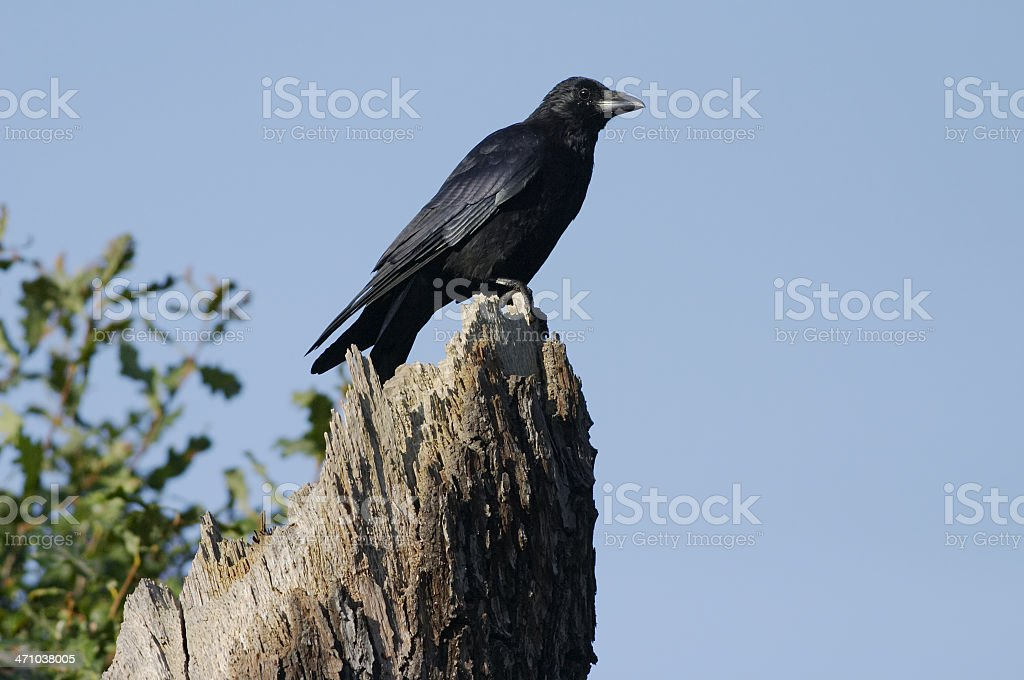 Single carrion crow perched on dead oak tree stump stock photo