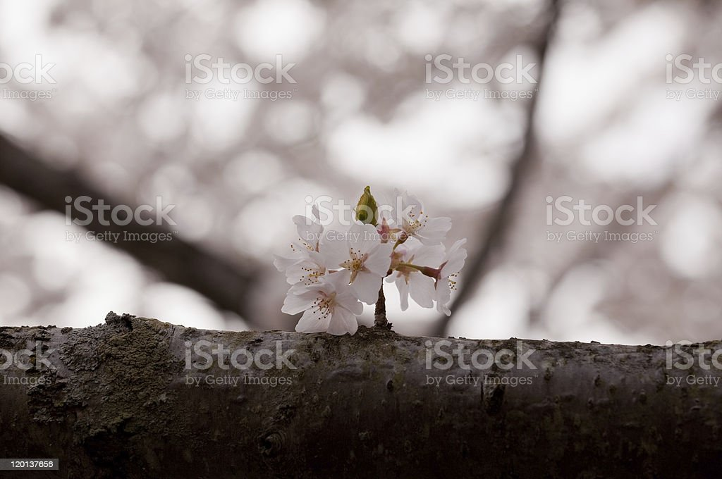 Single cherry blossom on branch royalty-free stock photo