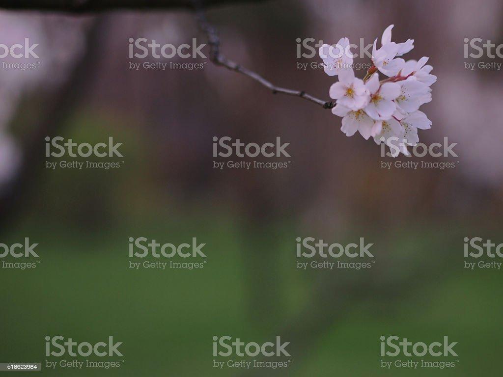 Single cherry flower stock photo