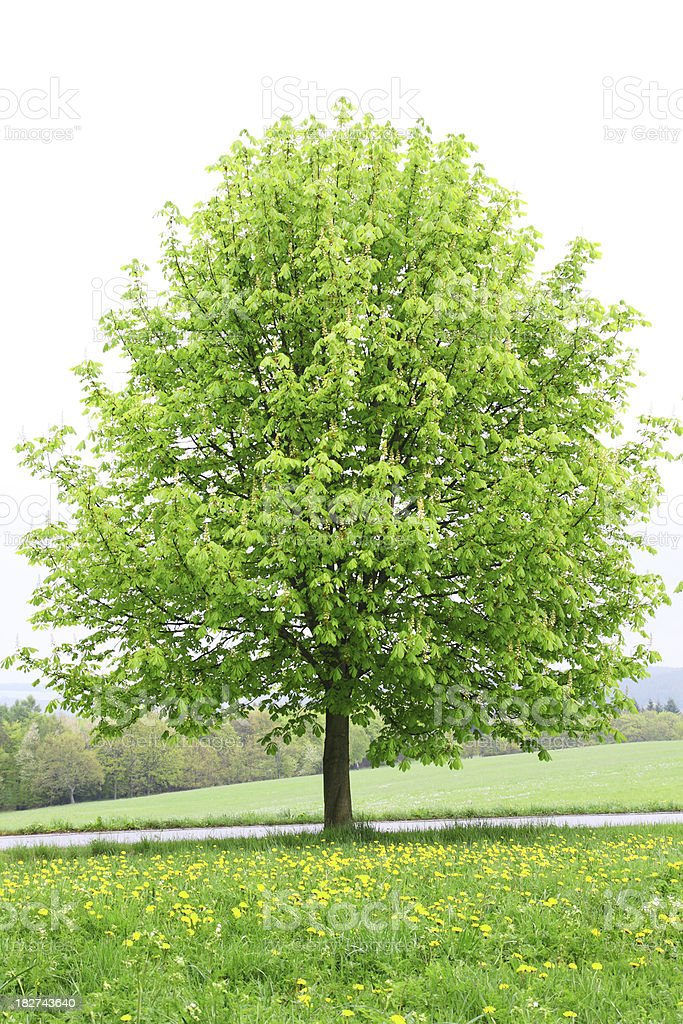 Single Chestnut Tree on Meadow early Spring royalty-free stock photo
