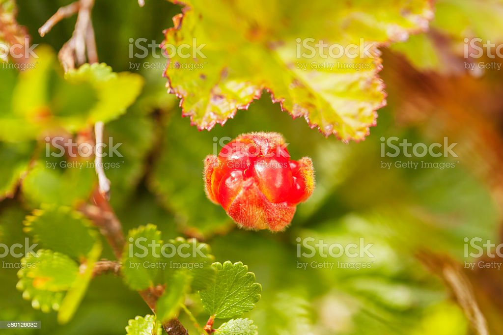 Single cloudberry on blurred background in the mountains stock photo