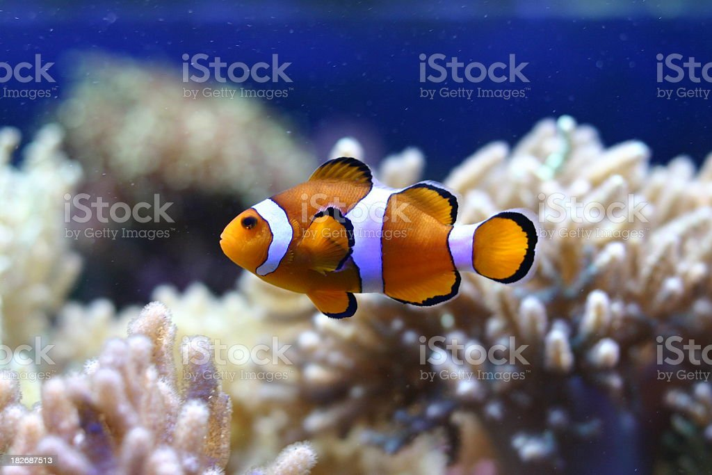 A single clown fish in front of anemones stock photo