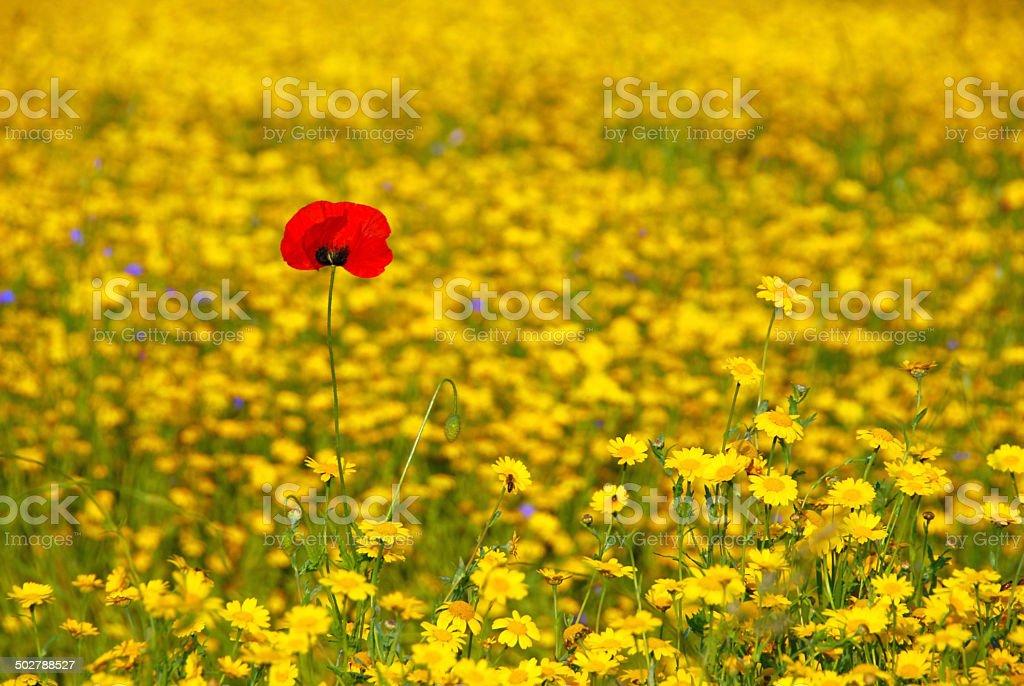 Single Corn Poppy between yellow flowers. stock photo
