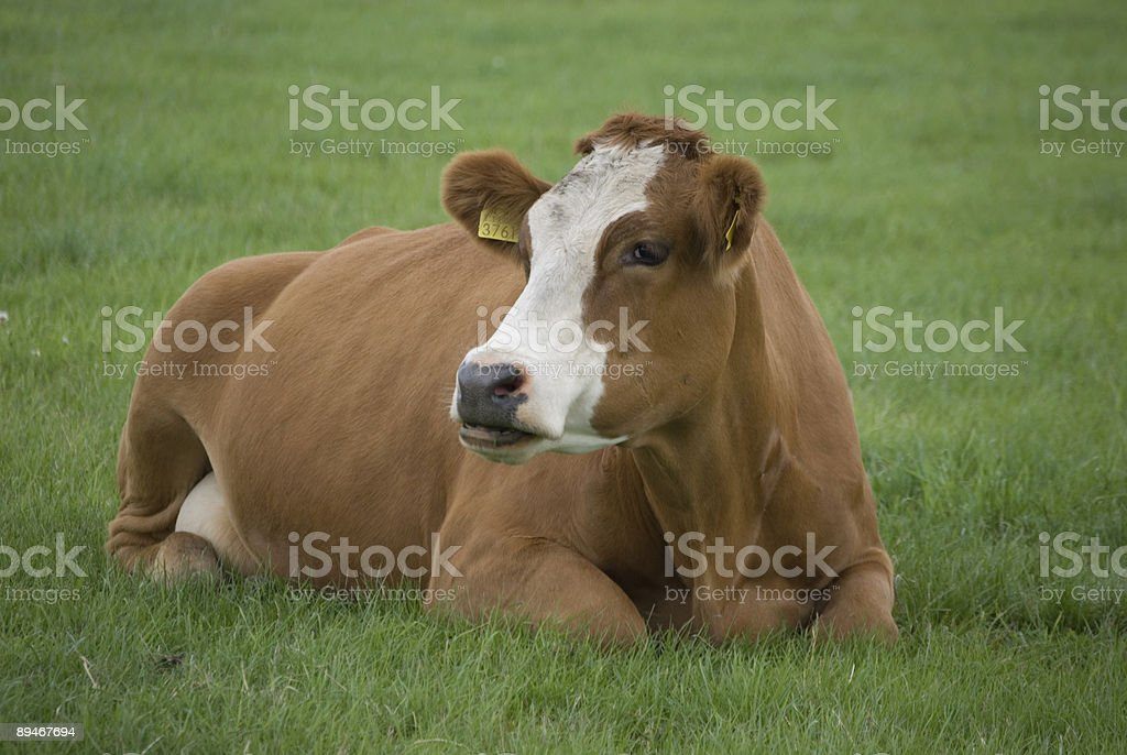 Single Cow Brown White Laying in Meadow royalty-free stock photo