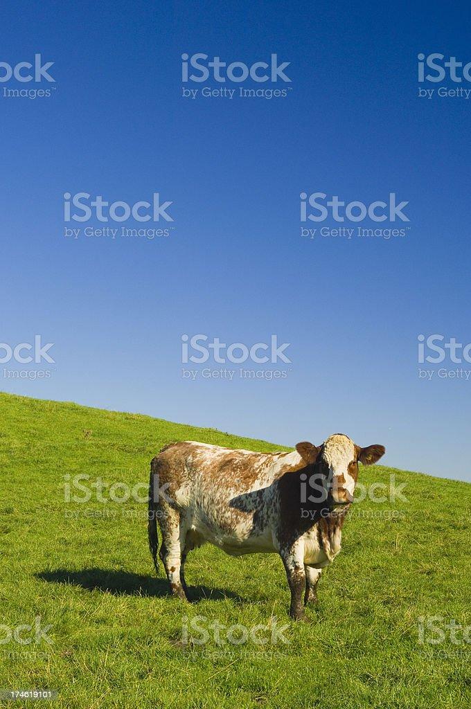 Single cow looking at camera stock photo