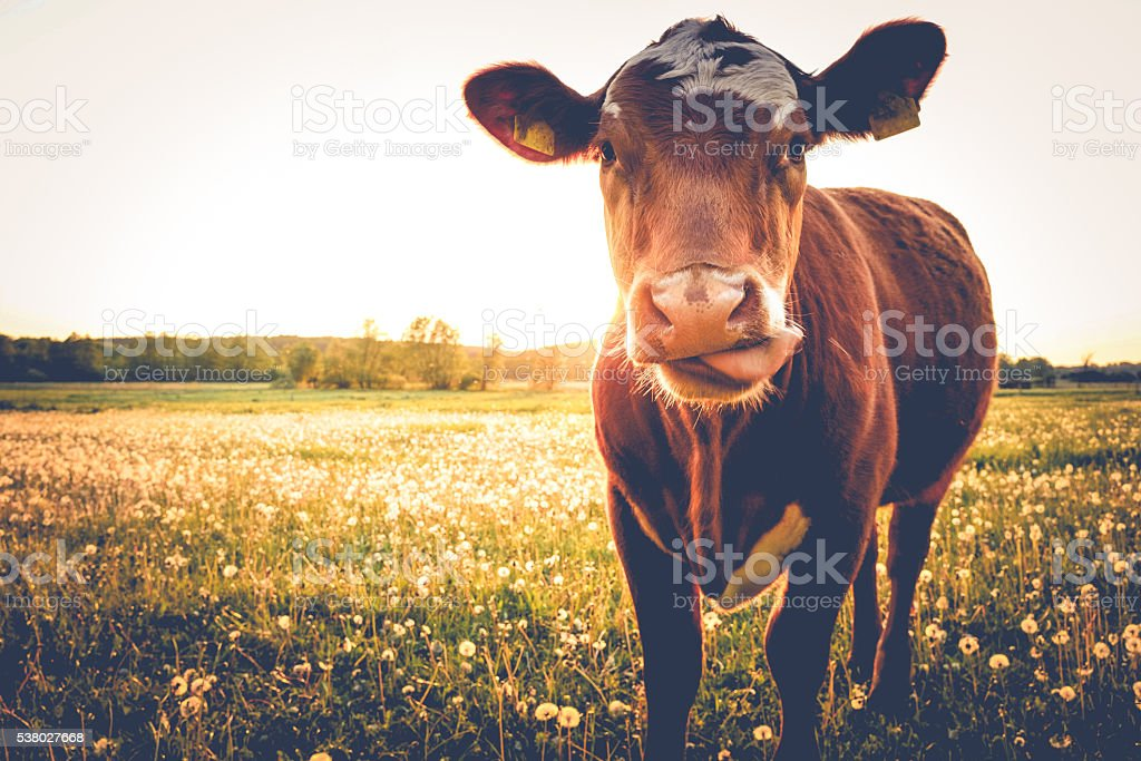 Single Cow on a meadow-happy view stock photo